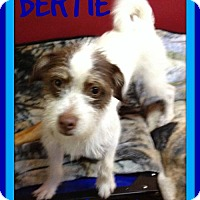 Adopt A Pet :: BERTIE - Devine, TX