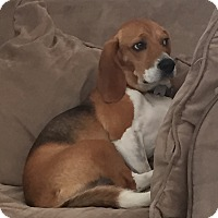 Adopt A Pet :: Duke- Beagle - ST LOUIS, MO
