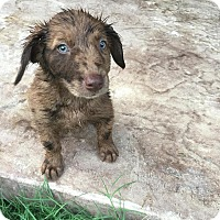 Adopt A Pet :: 3 aussie mixed puppies - mooresville, IN