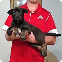 Adopt A Pet :: Guiness - New Philadelphia, OH