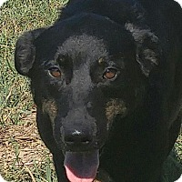 Labrador Retriever/Shepherd (Unknown Type) Mix Dog for adoption in Foster, Rhode Island - Newby