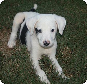 Australian Shepherd Mix Puppy for adoption in Holly Springs, North Carolina - Sherman