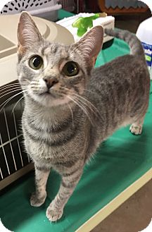 Domestic Shorthair Cat for adoption in Butner, North Carolina - Lizzy