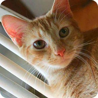 Domestic Shorthair Cat for adoption in Arlington, Virginia - Mohawk