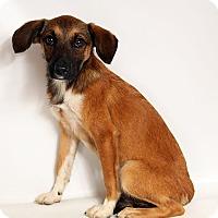 Adopt A Pet :: Adrian SheltieHeeler - St. Louis, MO