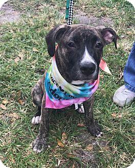 American Bulldog Mix Puppy for adoption in Ft. Lauderdale, Florida - Csonka