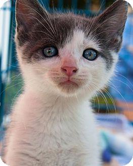 Domestic Shorthair Kitten for adoption in Alpharetta, Georgia - Johnny 99