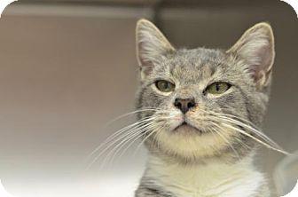 Domestic Shorthair Cat for adoption in Atlanta, Georgia - Jack 162033