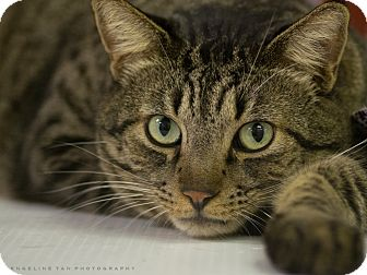 Domestic Shorthair Cat for adoption in Houston, Texas - CHEETA