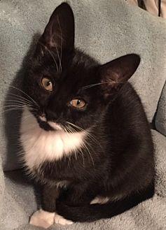 Domestic Shorthair Kitten for adoption in Harrison, New York - Marilyn & Monroe