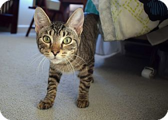 Domestic Shorthair Cat for adoption in Virginia Beach, Virginia - Taltos