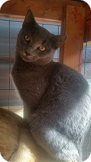 Russian Blue Kitten for adoption in Ocala, Florida - Sophia