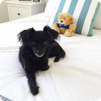Adopt A Pet :: Scarlet - Los Angeles, CA