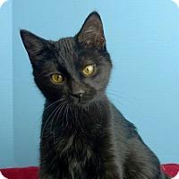Adopt A Pet :: Hocus Pocus - Columbia, IL