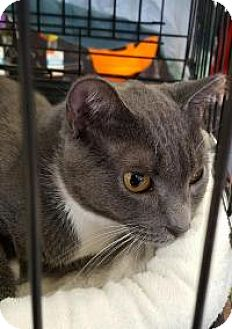 Domestic Shorthair Cat for adoption in Raritan, New Jersey - Pewter