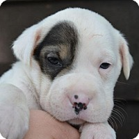 Adopt A Pet :: Spot - Danbury, CT