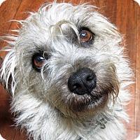 Adopt A Pet :: Dutch - Waterbury, CT