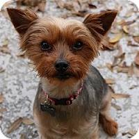 Adopt A Pet :: Gadget - Clearwater, FL