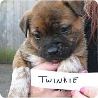 Adopt A Pet :: Twinkie - nashville, TN