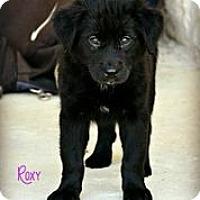 Adopt A Pet :: Roxie Girl - Austin, TX