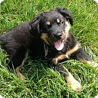 Adopt A Pet :: Brees - Manchester, NH