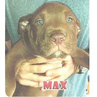 Adopt A Pet :: Terrier Mix Puppy - Max - Midlothian, VA