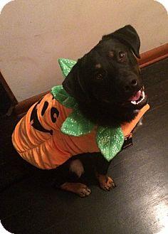 Blue Heeler/Labrador Retriever Mix Dog for adoption in Nixa, Missouri - Tacoma