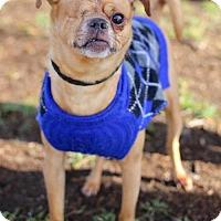 Adopt A Pet :: Daredevil - San Diego, CA