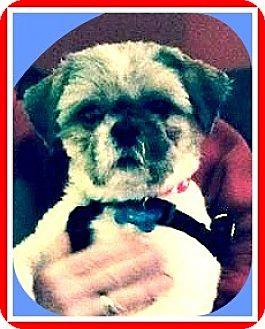 Shih Tzu Dog for adoption in Seattle, Washington - Toby