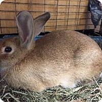 Adopt A Pet :: Marmalade - Woburn, MA