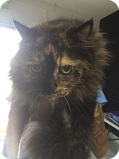 Domestic Longhair Cat for adoption in Philadelphia, Pennsylvania - Onix