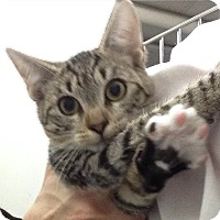 Adopt A Pet :: kitten #4 - Pompton Lakes, NJ