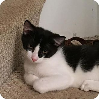 Domestic Shorthair Kitten for adoption in Acushnet, Massachusetts - Kittens-Male