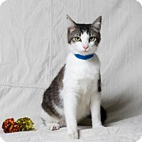 Domestic Shorthair Cat for adoption in Tulsa, Oklahoma - Micah