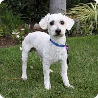 Adopt A Pet :: DAMON - Newport Beach, CA