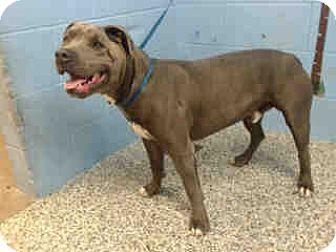 Pit Bull Terrier Mix Dog for adoption in San Bernardino, California - URGENT on 9/29 SAN BERNARDINO