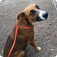 Adopt A Pet :: Noah - Westminster, CA