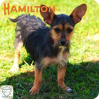 Terrier (Unknown Type, Small) Mix Dog for adoption in Washburn, Missouri - Hamilton