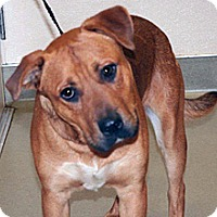 German Shepherd Dog Mix Dog for adoption in Wildomar, California - Scruffy