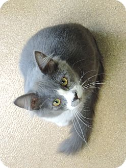 Domestic Mediumhair Cat for adoption in Brookings, South Dakota - Rolex