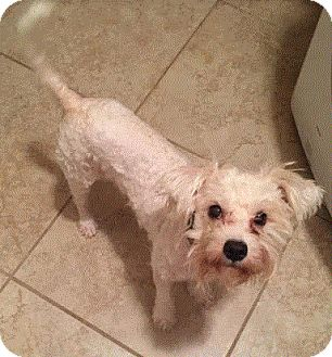 Miniature Poodle/Schnauzer (Miniature) Mix Dog for adoption in Rocky Hill, Connecticut - Harry