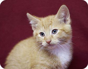 American Shorthair Kitten for adoption in Sioux Falls, South Dakota - Tippy