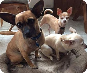 French Bulldog/Pug Mix Dog for adoption in Montpelier, Vermont - Twig