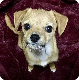 Terrier (Unknown Type, Small)/Cairn Terrier Mix Puppy for adoption in Irvine, California - Sweet Potato