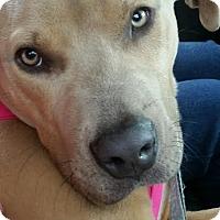 Adopt A Pet :: Boss - Detroit, MI