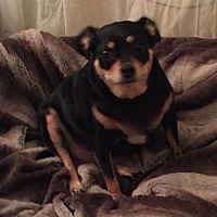Miniature Pinscher/Chihuahua Mix Dog for adoption in Baton Rouge, Louisiana - Junior