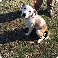 Adopt A Pet :: Katie~ meet me! - Glastonbury, CT