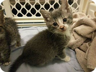 Domestic Shorthair Kitten for adoption in Chicago, Illinois - Riley