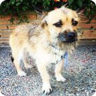 Cairn Terrier Dog for adoption in Santa Cruz, California - Gizmo