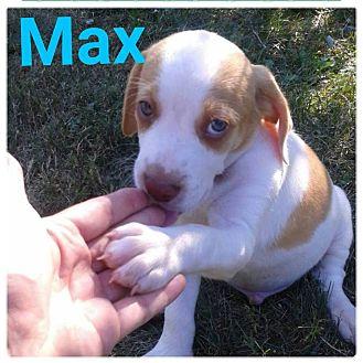 Hound (Unknown Type)/Labrador Retriever Mix Puppy for adoption in fort wayne, Indiana - Max